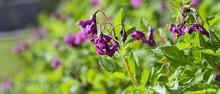Purple Potato Flower In The Garden.