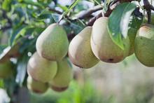 Pear Tree  - Pyrus Communis 'A...