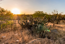 Landscape Of The Caatinga In Brazil. Cactus At Sunset