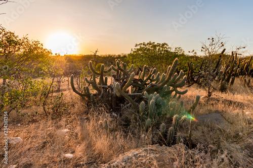 Fotografija Landscape of the Caatinga in Brazil. Cactus at sunset