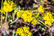 Frosted Buckwheat (Eriogonum Incanum) Wildflowers Blooming In Yosemite National Park, Sierra Nevada Mountains, California