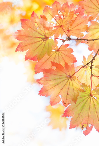 Japanese maple leaves with fall color gradation