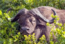 Bufalos In The Jungle Of Kenya...