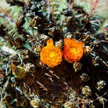 Orange Blooming Cactus