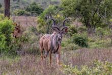 Greater Male Kudu