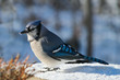 Beautiful bluejay bird with snow on beak - corvidae cyanocitta cristata - standing on white snow on sunny day in northern Minnesota