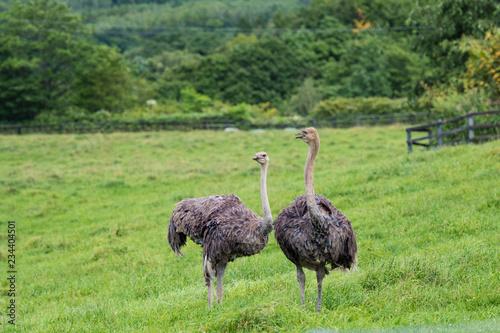 Cute ostrich bred in ostrich ranch / hokkaido Japan