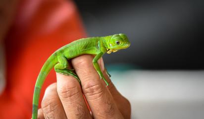 Hands holding a little baby young juvenile green iguana (Iguana iguana).