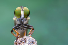 Macro Shot Of A Robber Fly Select Eye Focus, Eye Insect
