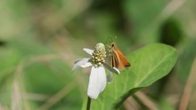 A Bright Orange Skipper Butterfly Rest For A Little While On A White Yerba Mansa Flower Before Flying Away Again.