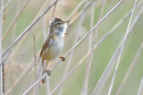 Leinwand Poster Eurasian reed warbler (Acrocephalus scirpaceus)