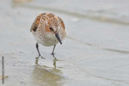Fotografia, Obraz Little stint in shallow water