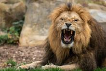 Brüllender Löwe Im Zoo 03