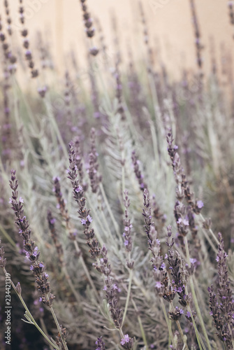 Photo  lavender flower bed