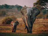 Fototapeta Sawanna - Elefantenkuh mit Jungem auf dem Weg zum Wasserloch, Senyati Safari Camp, Botswana