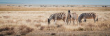 Fototapeta Sawanna - Zebras im Grasland, Etosha National Park, Namibia