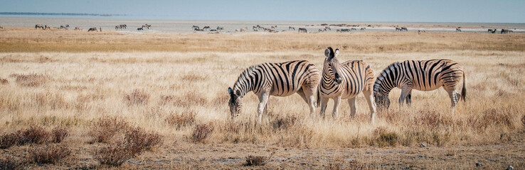 Zebras im Grasland, Etosha National Park, Namibia