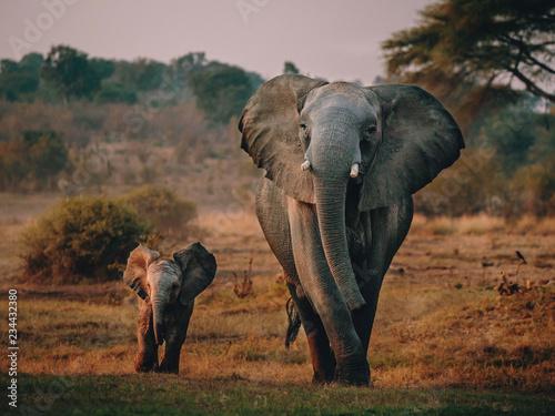 Photo sur Toile Elephant Elefantenkuh mit Jungem auf dem Weg zum Wasserloch, Senyati Safari Camp, Botswana