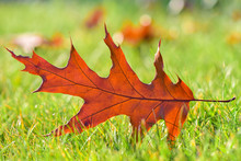Red Oak Leaf On A Green Lawn In The Autumn On A Sunny Day, Blurred Background