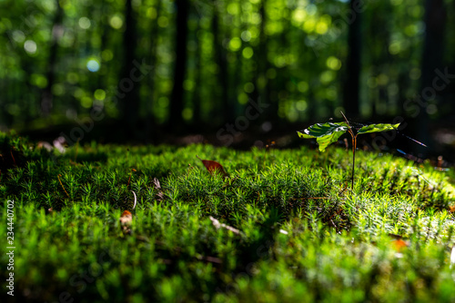 Fototapeta  Close-up of freshness green moss and growing leaf, selective focus