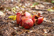 Fallen And Broken Pomegranate Fruit In Autumn.  On A Ground Of Needles And Small Branches.  Creating Picture Of Being Past Prime, With Good Colors, Focus On Fruit Rest Blurred