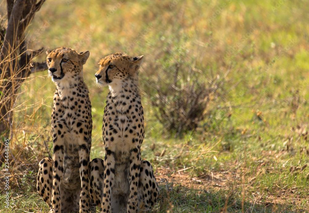 Geparden mit Textfreiraum