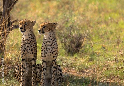 Geparden mit Textfreiraum Tablou Canvas
