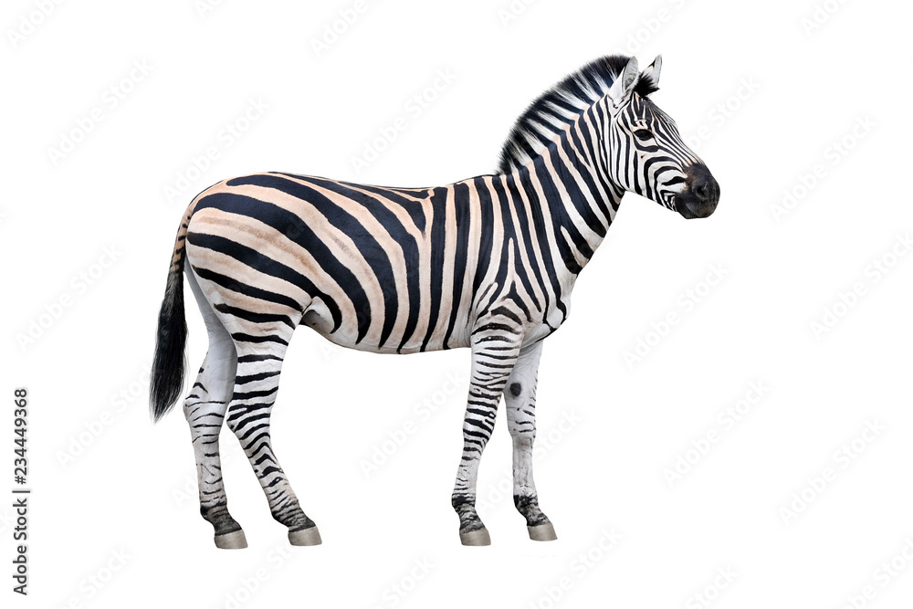 Fototapety, obrazy: Zebra isolated on white background