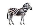 Fototapeta Zebra - Zebra isolated on white background