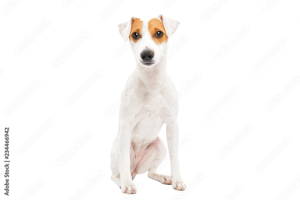 Fototapety, obrazy: Cute young dog Jack Russell terrier isolated on white background