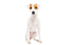 Cute Young Dog Jack Russell Terrier Isolated On White Background