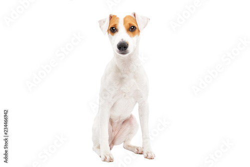 Obraz Cute young dog Jack Russell terrier isolated on white background - fototapety do salonu