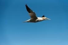 Gannet Seagull Flying In The Blue Sky - Fou De Bassan