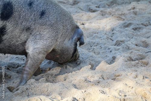 Fotografie, Obraz  Geflecktes Schwein