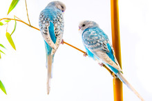 Blue Wavy Parrots Isolated On ...
