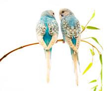 Little Blue Wavy Parrots On Wh...