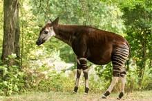 Okapi (Okapia Johnstoni), Fore...