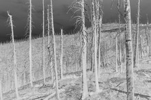 Black And White Inverted Image Of The Norse Peak Forest Fire Damaged Trees, Low Angle View, Near Mount Rainier National Park On The Pacific Crest Trail.