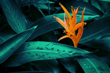 Orange Heliconia  Flower With Lush Dark Tropical Foliage Background