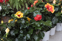 Potted Red, Yellow, Orange Hibiscus Flowers In The Flowers Bar.