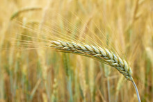 Ripe Rye Spike, Beautiful Head Of A Cone On The Yellow Background Of Field, Agriculture And Harvest Concept, Copy Space, Closeup