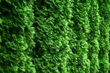 Western Thuja Emerald Green He...
