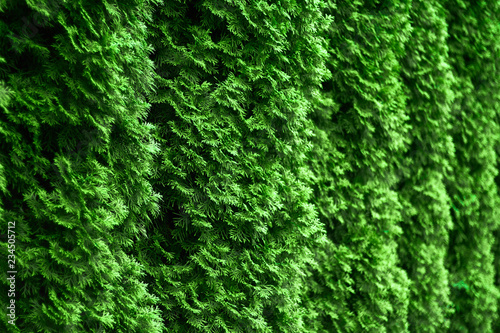 Western thuja emerald green hedge background texture, evergreen trees planted abreast make dense  natural wall Canvas Print