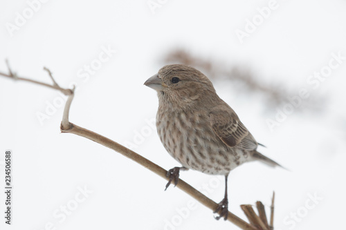 Photo  Perched Female House Finch