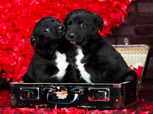 Two Valentine Puppies In Retro Suitcase On Red Hearts Background