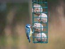 Eurasian Blue Tits (Cyanistes Caeruleus) On Bird Feeder