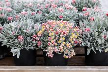 Potted Helichrysum Sanguineum ...