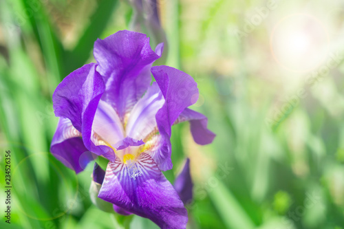 purple iris on green background