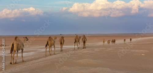 Row of camels walking on a road at sunset in the desert