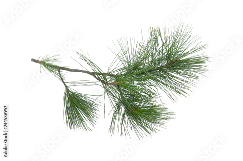 Fotografia Green pine tree branch isolated on white background.